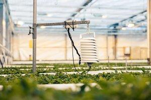 VPD sensor in a greenhouse monitoring basil.