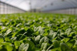 Basil leafs inside a greenhouse.